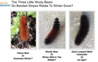 Three Little Wooly Bears Snow Winter Forecast